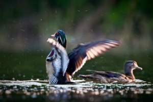 Painted wood duck pair at the Trinity River Audubon Center